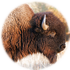 Clearfield Bison